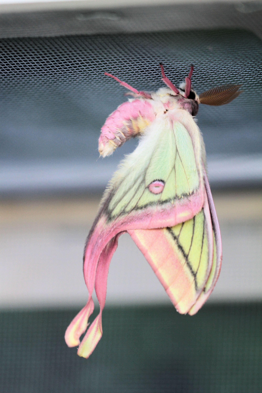 Actias Dubernardi Female X Graellsia Isabellae Male Verso Hybrid Imago In 2020 Verruckte Tiere Coole Tiere Schone Schmetterlinge