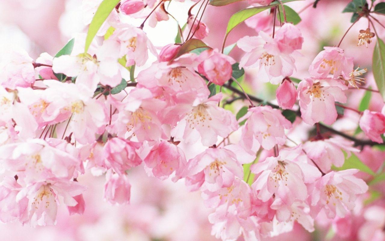 Sakura Close Up Fond D Ecran Fleur Rose Fleurs Printemps Fleur De Cerisier
