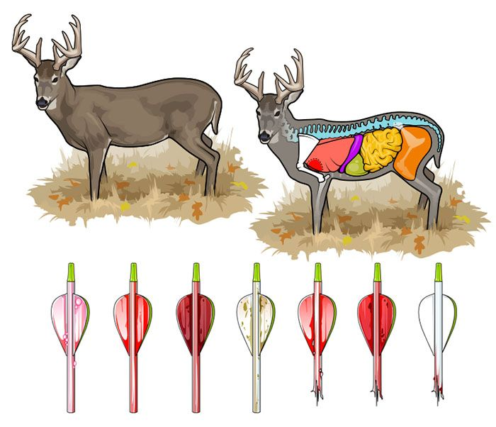 Whitetail Anatomy Diagram - Information Of Wiring Diagram •