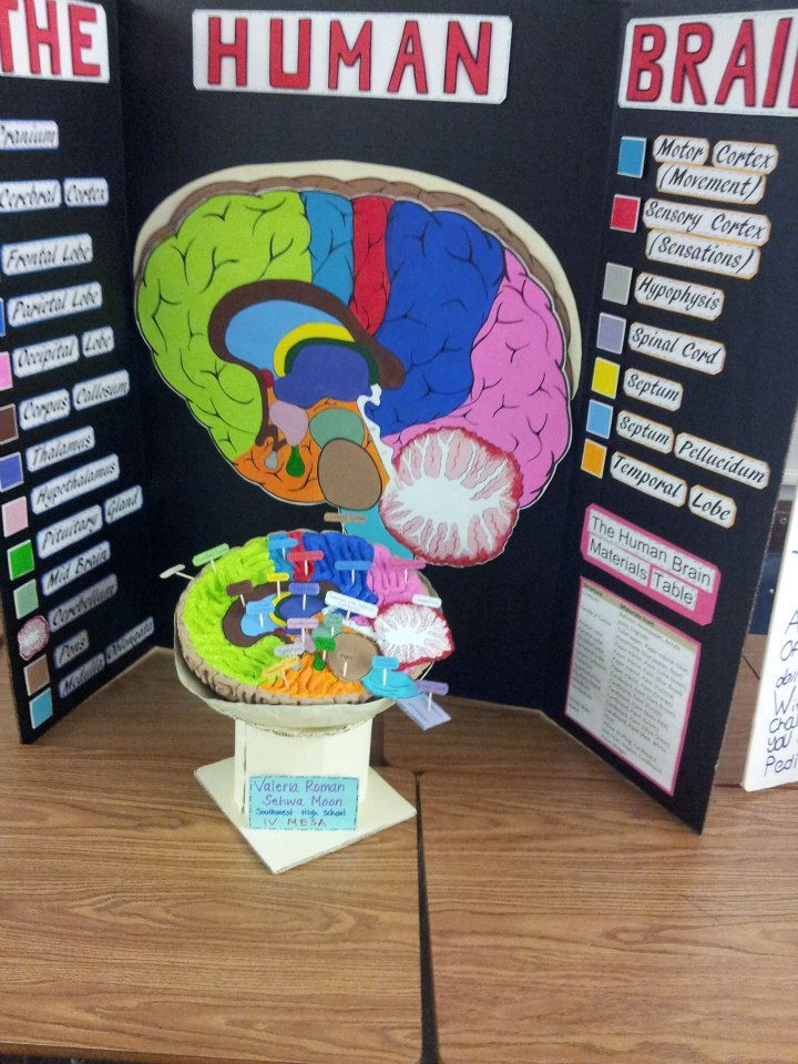 brain model project ideas - Bing Images | DIY | Pinterest | Project ...