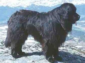 The Newfoundland Dogs Newfoundland Dog Newfoundland Puppies Dogs