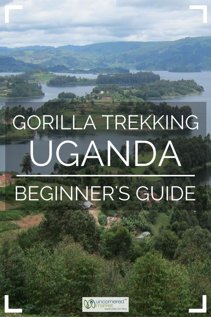 "Gorilla Trekking in Uganda A Beginner's Guide is part of Gorilla Trekking Tips For Uganda Uncornered Market - I followed just behind our lead mountain gorilla tracker  In the hush of the moment under the canopy, I remembered our guide's advice earlier that morning ""On your way to the gorillas, don't forget to"