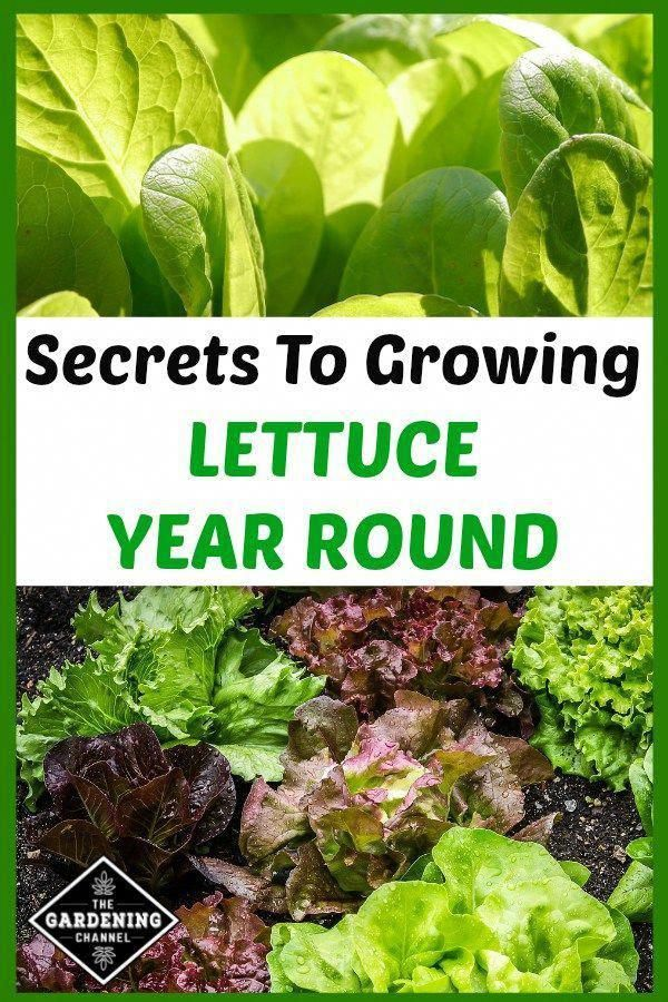 Learn How To Grow Lettuce Year Round Including How To Grow In