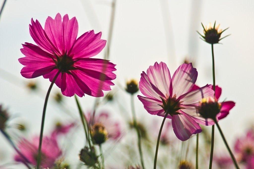 Pink Cosmos Flowers 4k Wallpaper Pink Flowers Wallpaper Love Flowers Flower Wallpaper