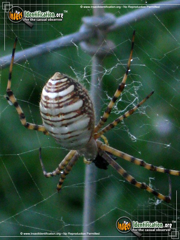 Banded Garden Spider - The Banded Garden Spider may be a natural compass, giving people two reasons to keep them around the garden.