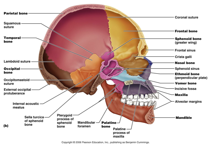 Lateral View Of The Skull Bones Education Skull Axial Skeleton