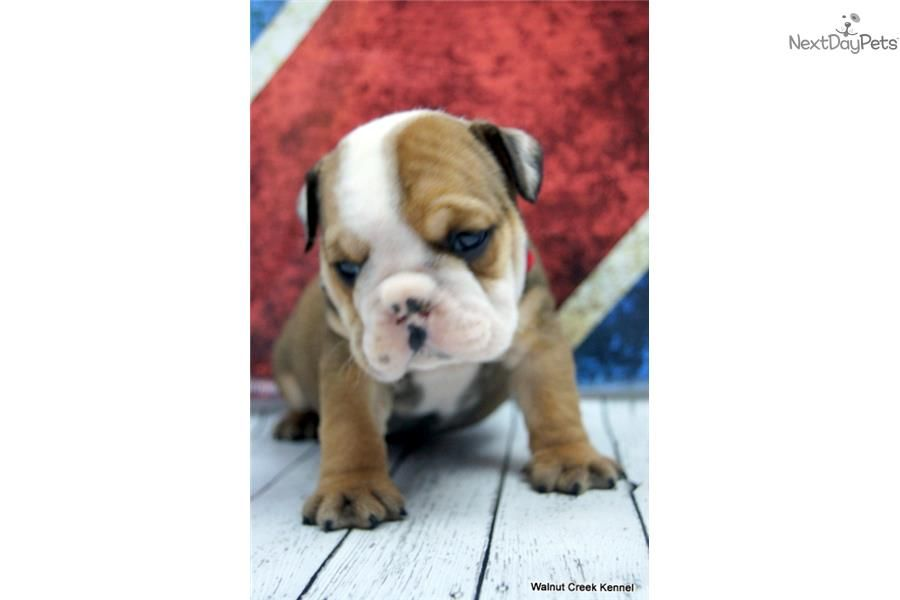 Your New Bff English Bulldog Puppy For Sale Near Lincoln