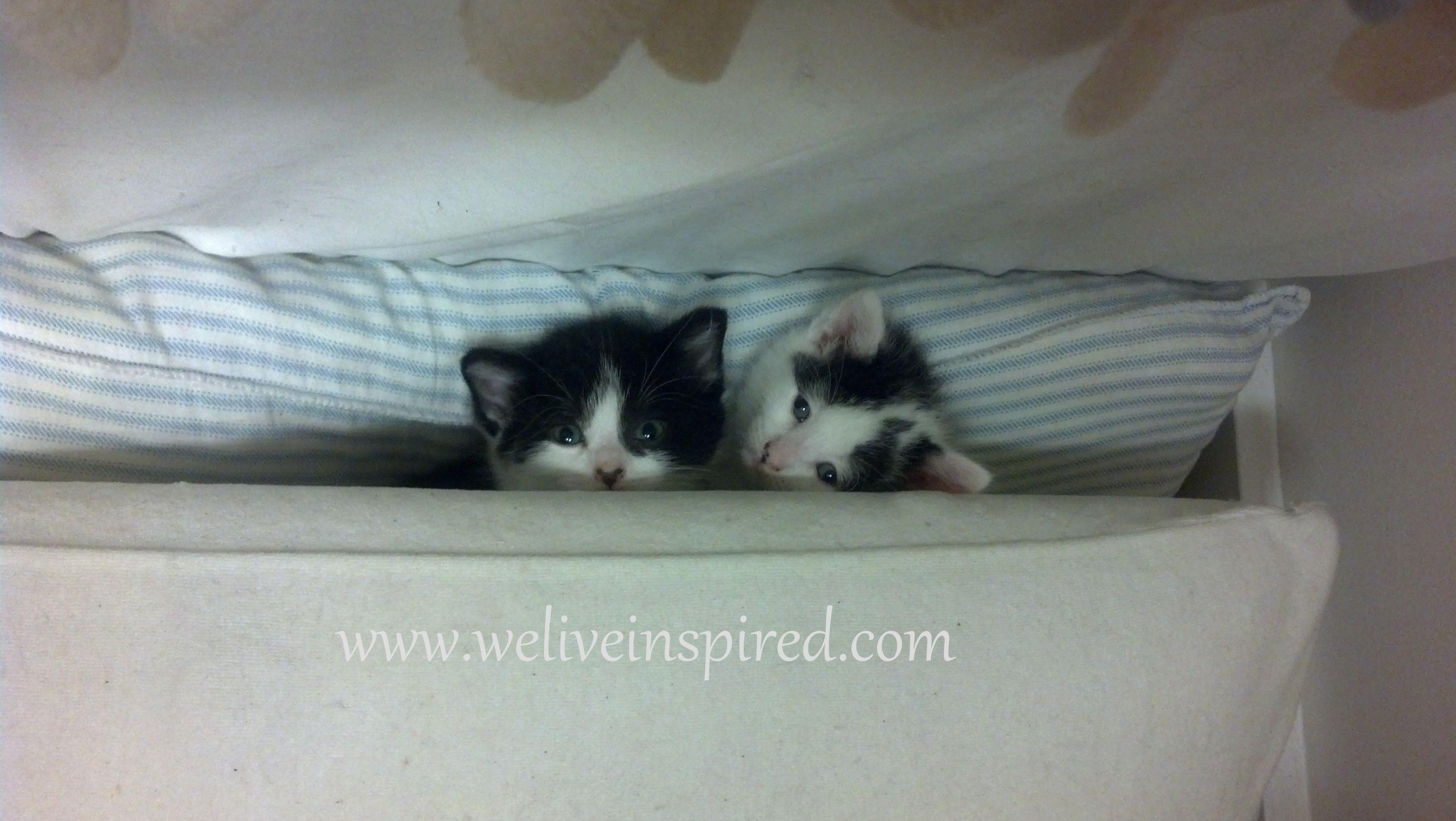 Peaking Kitten Kitten Animals Cats