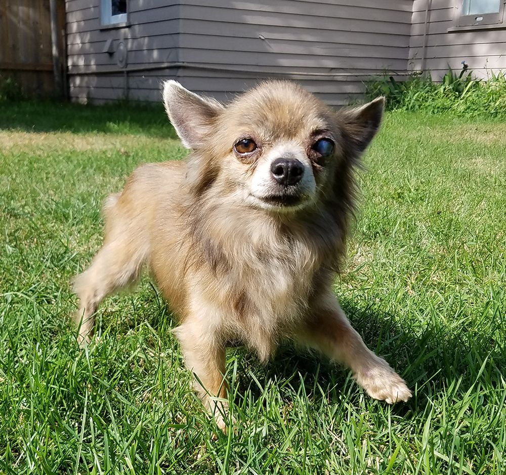 Chihuahua dog for Adoption in St. Louis Park, MN. ADN