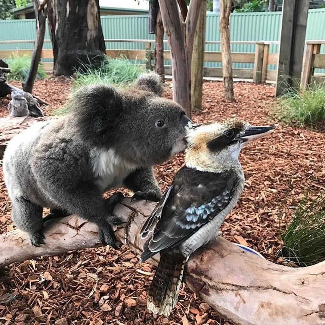 """""""Pssst - party in the koala enclosure, tonight. Bring snacks!"""" - Seems the resident creatures at @featherdalewildlifepark like to get up to a spot of mischief! This #koala and #kookaburra were spotted exchanging whispers at this wildlife park in @sydney recently, and although we'll never know what secrets were being shared here, it certainly made for a unique photo. Featherdale's just an hour's drive from the #Sydney CBD and is home to a range of native Aussie animals. #ilovesydney…"""