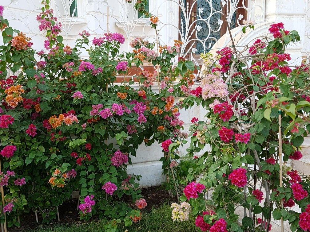 Pin by jozef bi on bougainvillea bougainvillea plants