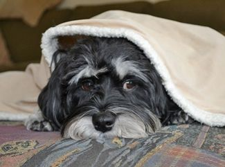 Diego In Mn Adopted 3 31 2014 Havanese Dogs Baby Dogs Dogs And Puppies