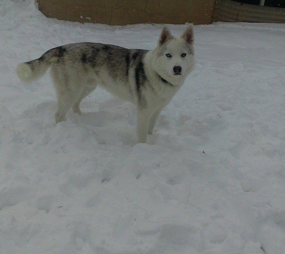 Lostdog 12 13 13 Vernal Ut 1500 S Male And Female Siberianhusky 435 219 8009 Https Www Facebook Com Utahlostandfound Losing A Dog Find Pets Losing A Pet