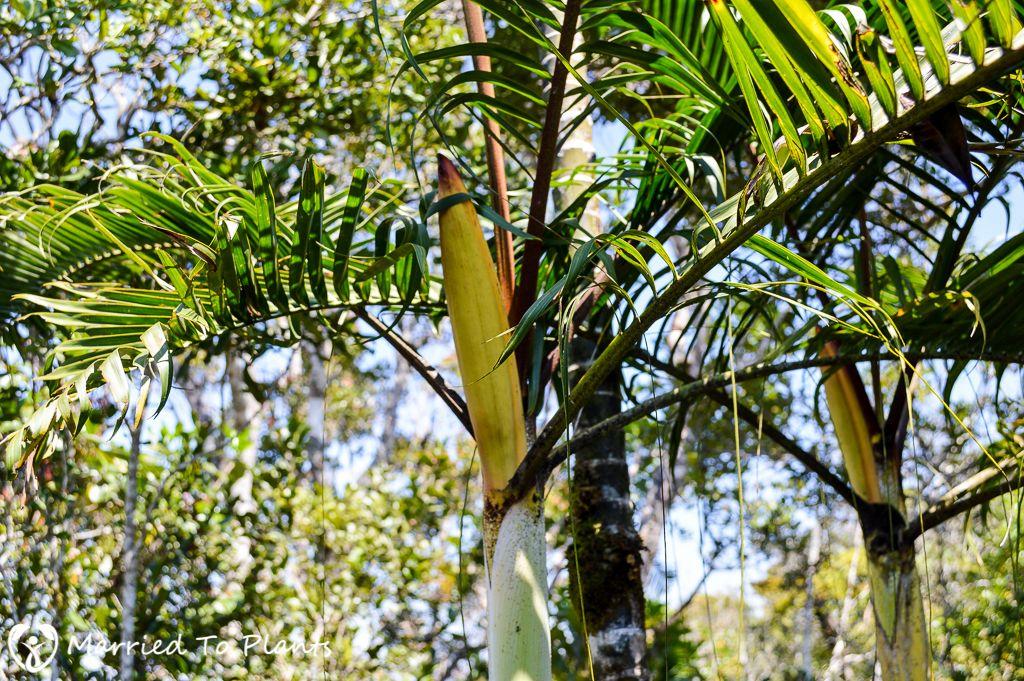 Dypsis baronii black stem with yellow flower spathe palm trees dypsis baronii black stem with yellow flower spathe mightylinksfo