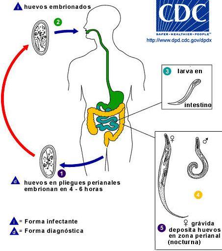Ciclos de Vidas de Los Parasitos, Enterobius vermicularis ciclo