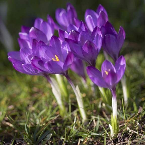 Erste Fruhlingsblumen Der Fruh Bluhende Violette Krokus Ruby Giant