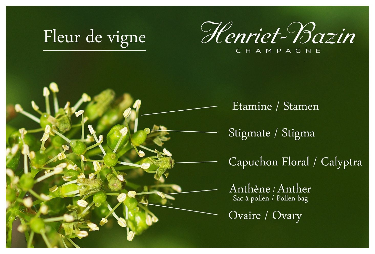 Doc Schema Fleur De Vigne Cadre Copie Spicy Bouquet Champagne