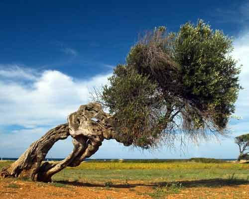olivo nel vento. Olive tree following the wind.  http://www.homeinitaly.com