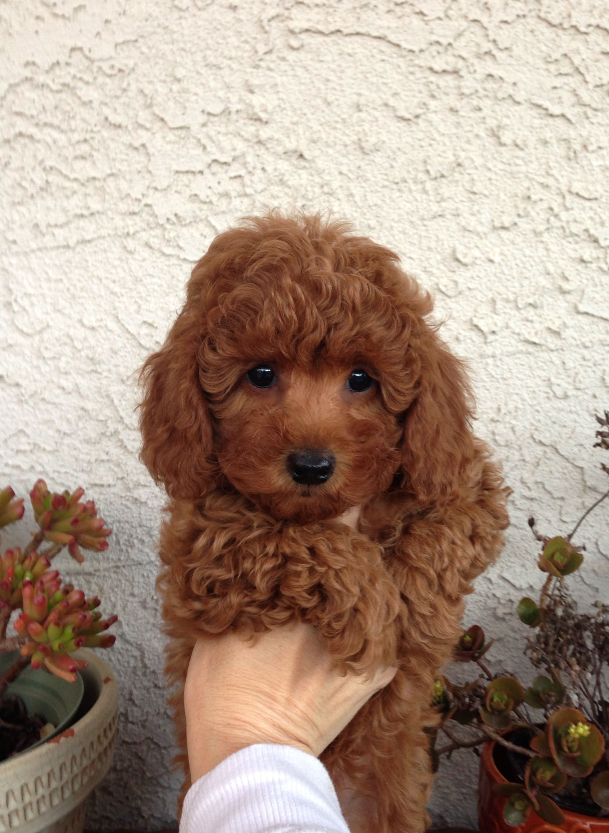 I Want 3 Super Cute Puppies Poodle Puppy Red Poodles