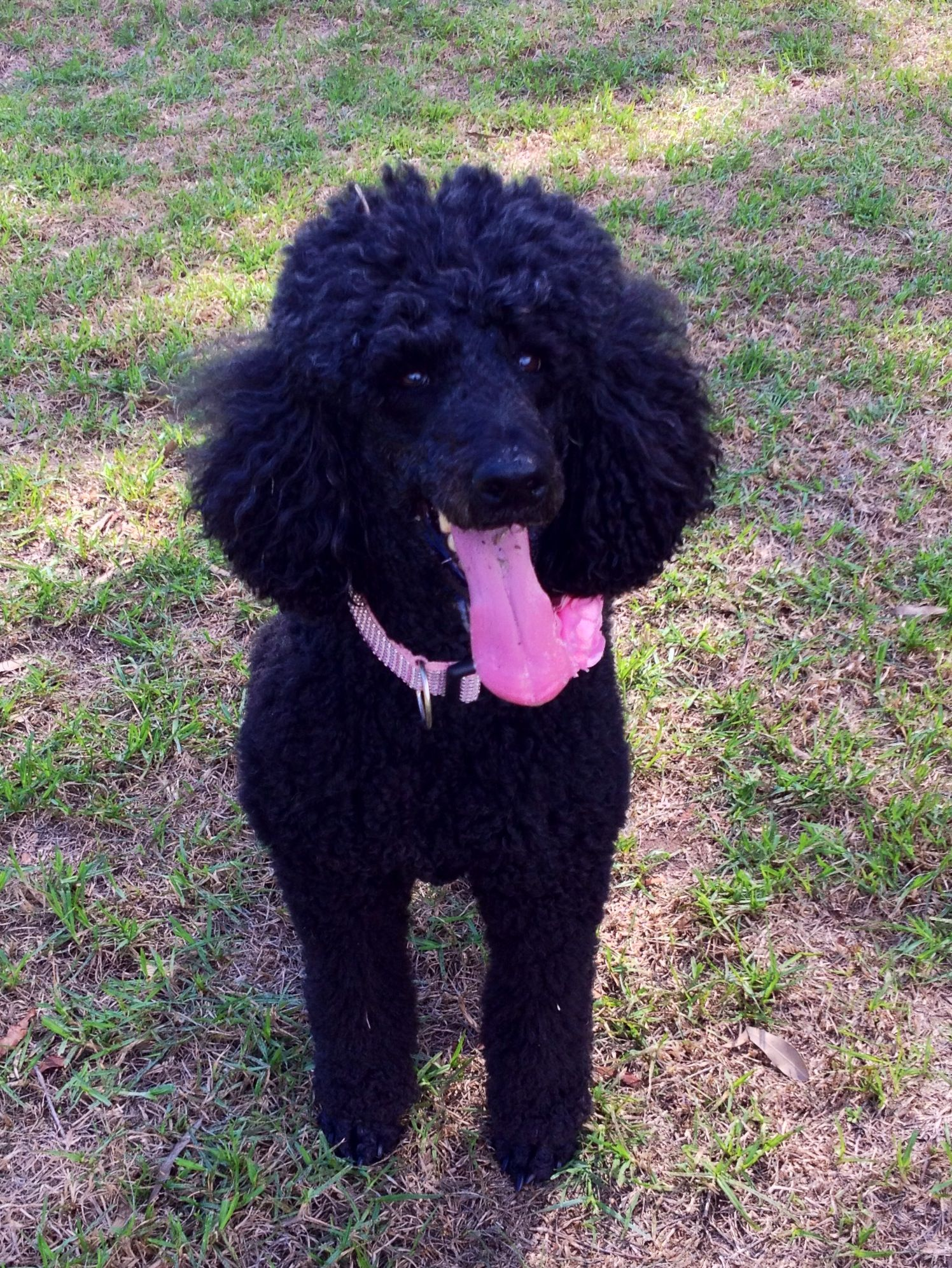 Saturday, sunny & at the dog park, perfect #bellapoodle