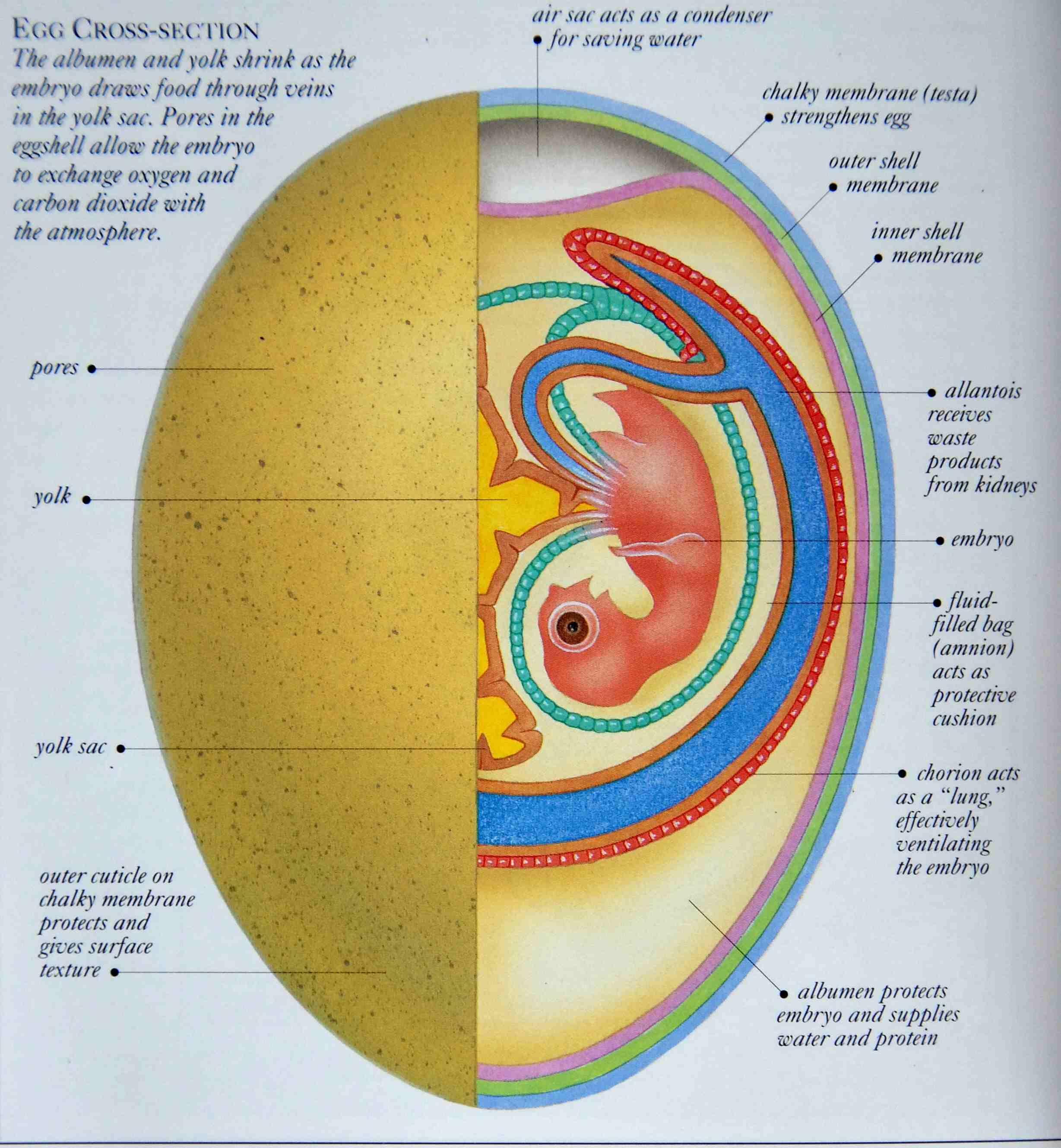 Eagle Anatomy Diagram Composite Volcano Labeled Egg Bird Google Search Homeschool Pinterest