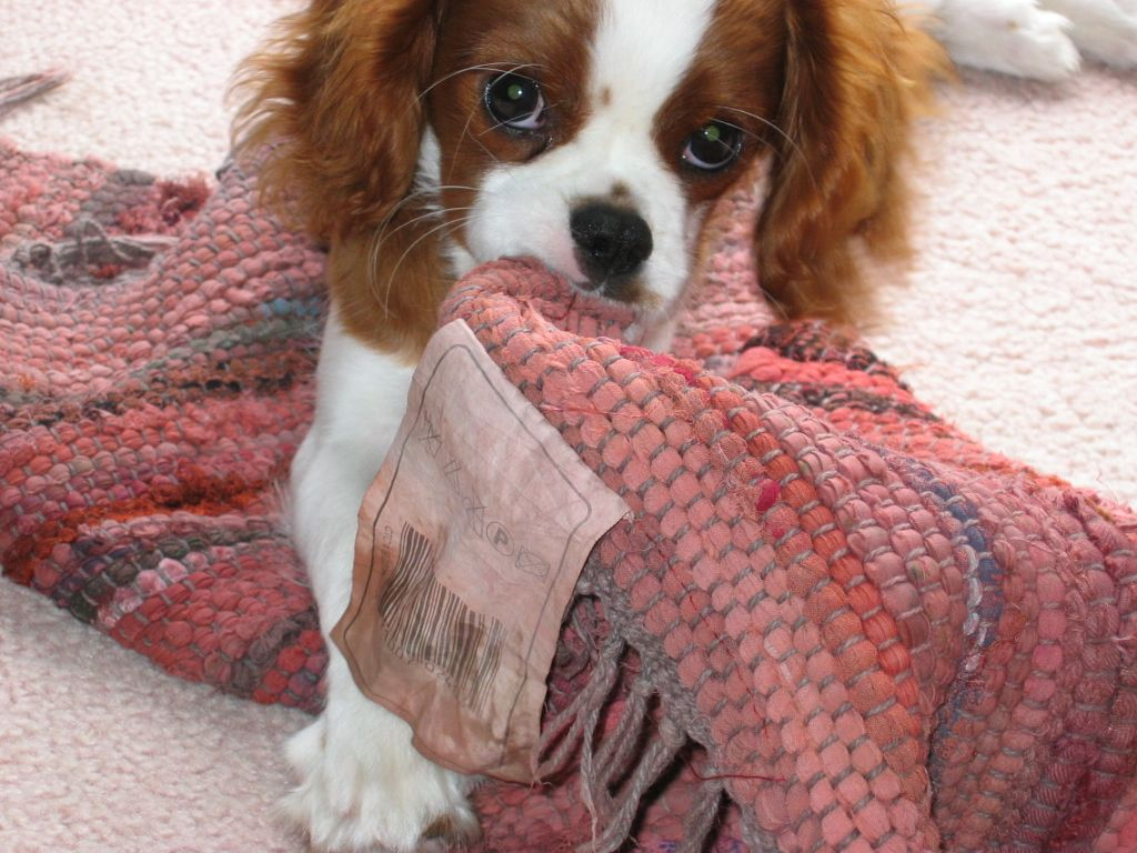 My Little Girl As A Puppy And Teething Didn T Help When Her Teeth Began To Fall Out With Images Cavalier King Charles Spaniel Cavalier King Charles King Charles