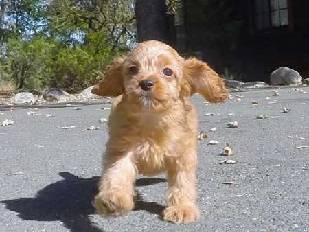 Cutest Ruby Cavapoo Puppy Cavalier X Toy Poodle Pictures