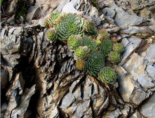 Hens And Chicks Succulents Growing Out Of Rocks Sempervivum