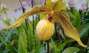 Kwiaty Doniczkowe Rosliny Doniczkowe Storczyki Rosliny Ozdobne Rosliny Domowe Orchids Plants Paphiopedilum