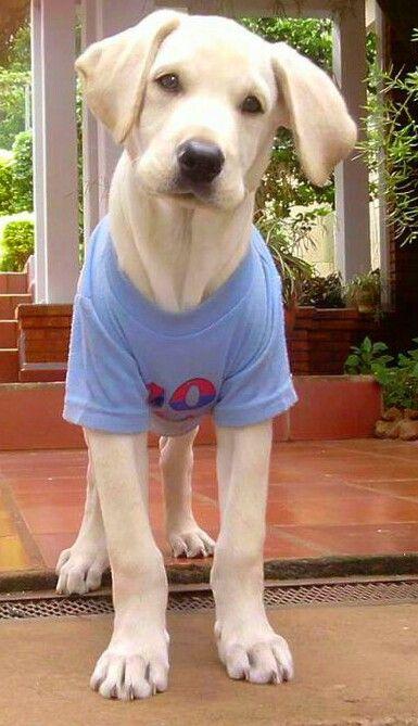 Cesar cachorro labrador