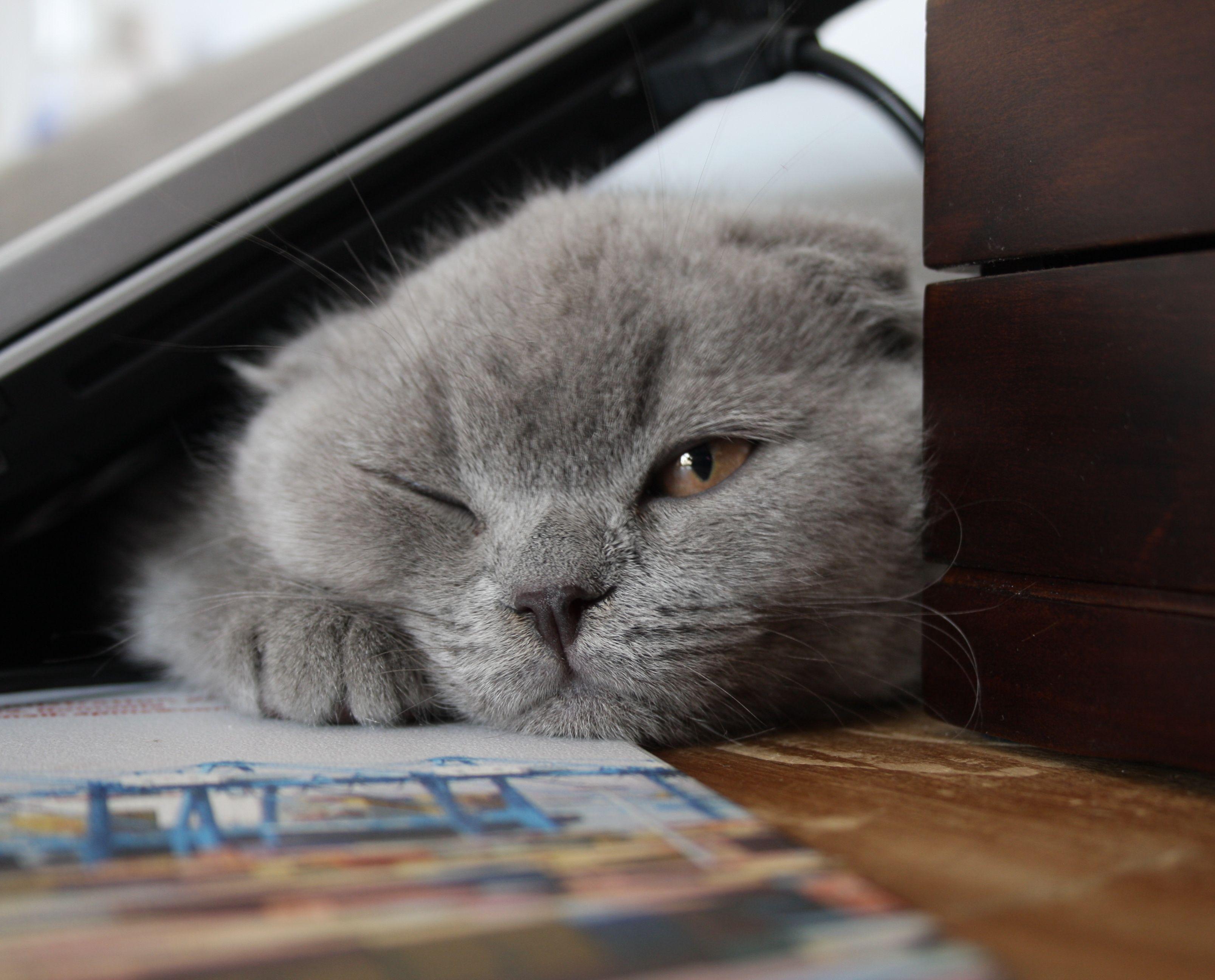 Scottish Fold Wikipedia The Free Encyclopedia Scottish Fold Cat Scottish Fold Scottish Fold Cat Kittens