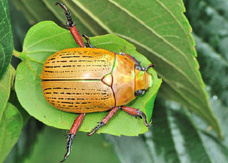 Christmas Beetle | Insects | Pinterest | Beetles and Insects