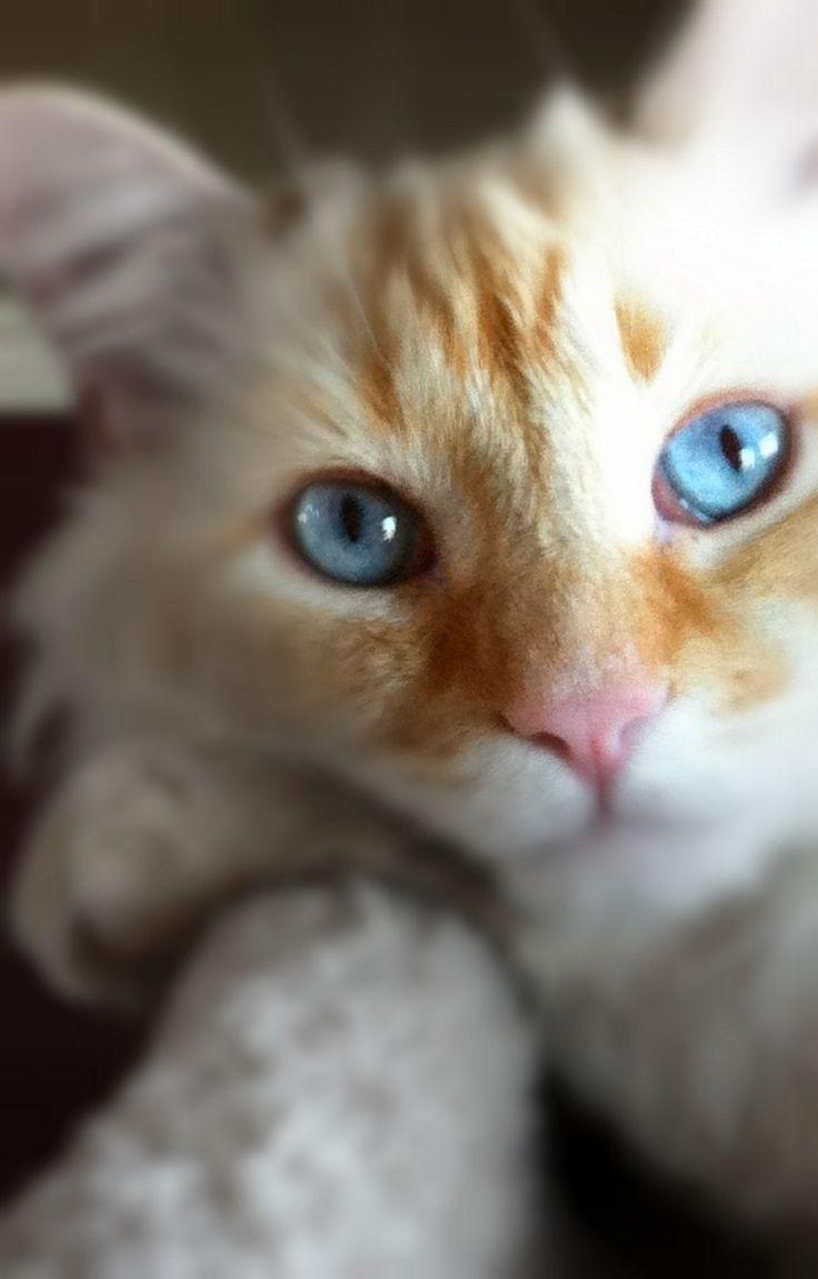 2d59bba949294ab491d7f7c5f2b5fb59 Jpg 736 1 151 Pixels Ragdoll Cat Colors Ragdoll Cat Ragdoll Cats For Sale