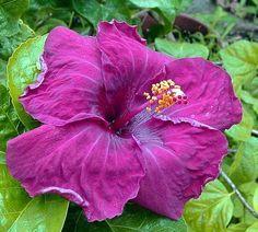 Black Baron Hibiscus Hibiscus Plant Hibiscus Flowers Hibiscus