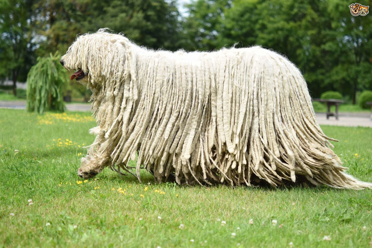 Mastiff dog breed information pictures characteristics amp facts - Komondor Dog Breed Information Facts Photos Care