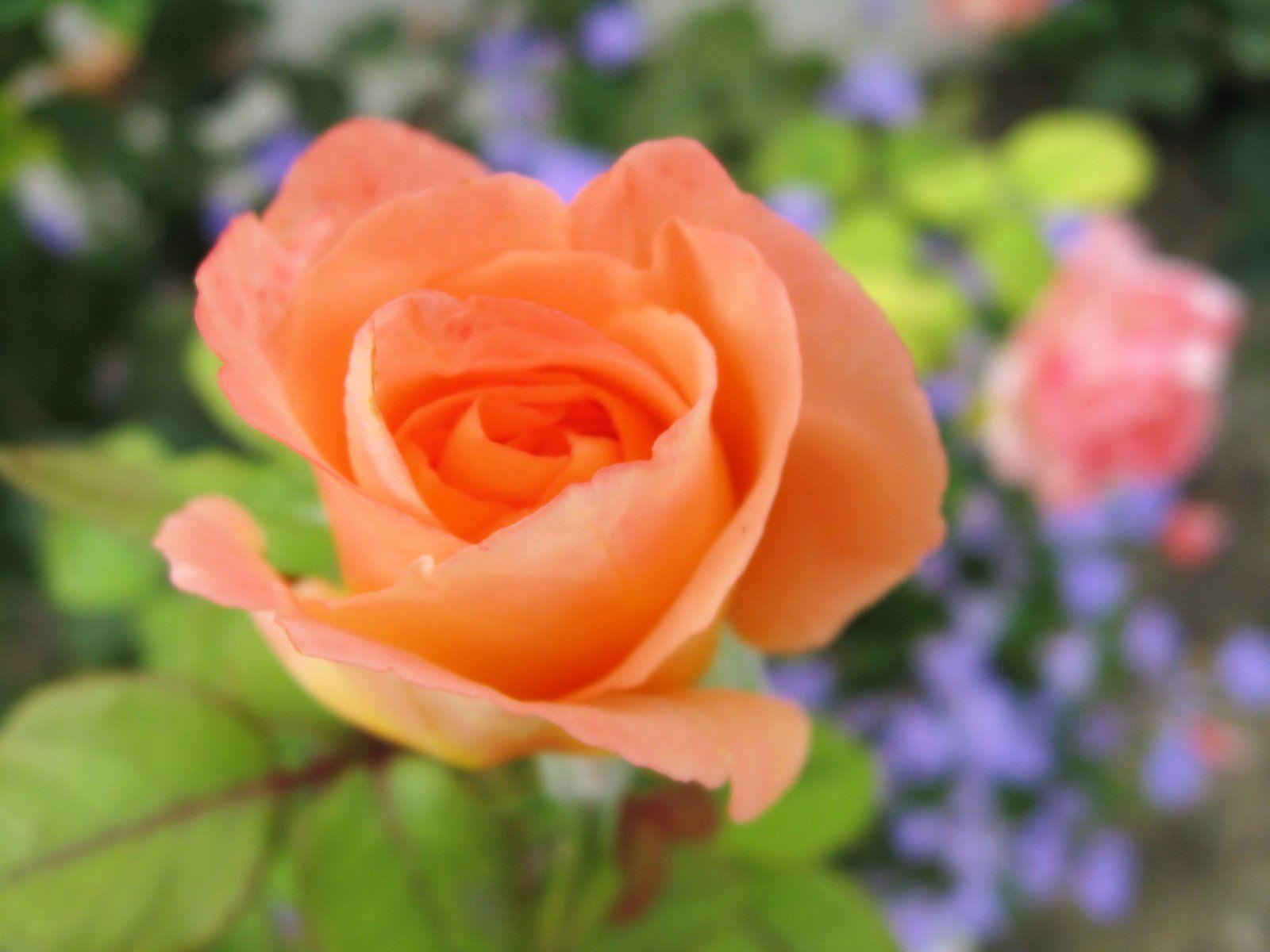 Most Beautiful Rose Flowers Most Beautiful Peach Rose Rose Flower