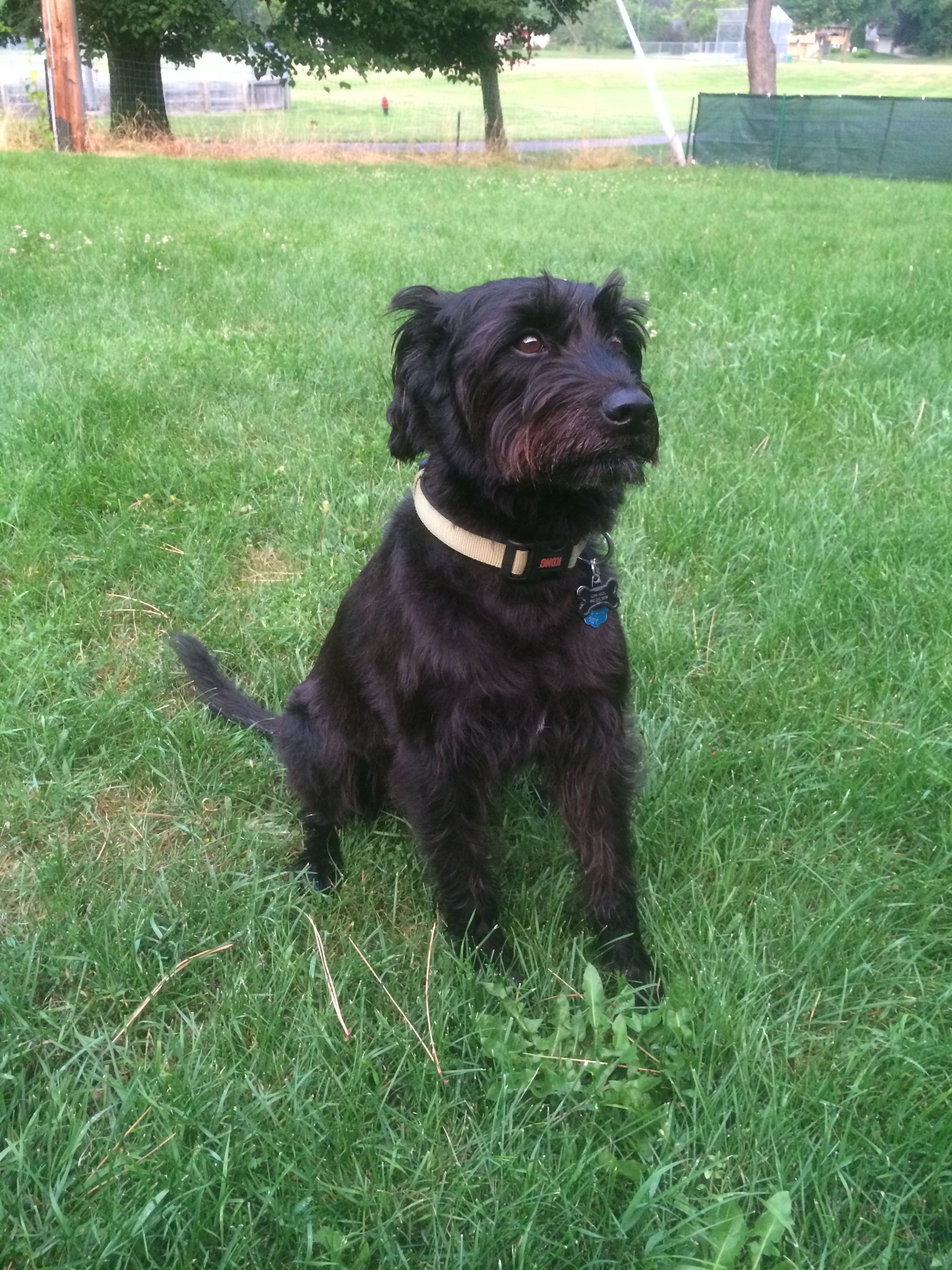 Schnauzer Lab Mix Best Of Both Breeds We Love Our Mutt