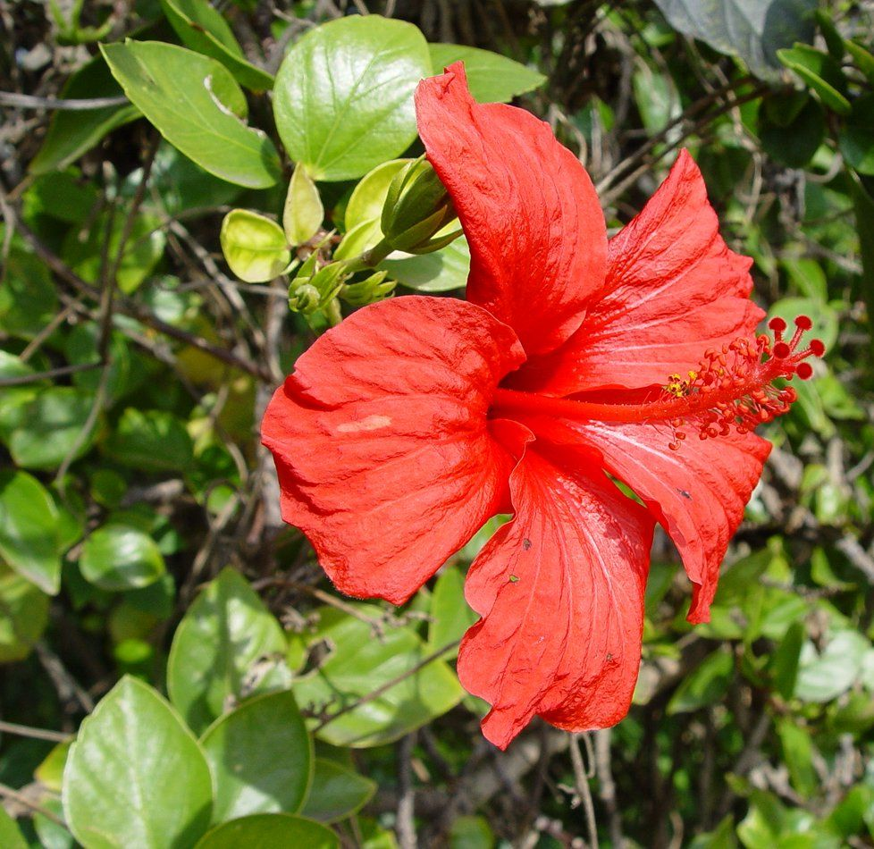 Flowering trees in new york but it is this plant grows in red hibiscus flowers and leaves their many uses healistic nutrition izmirmasajfo