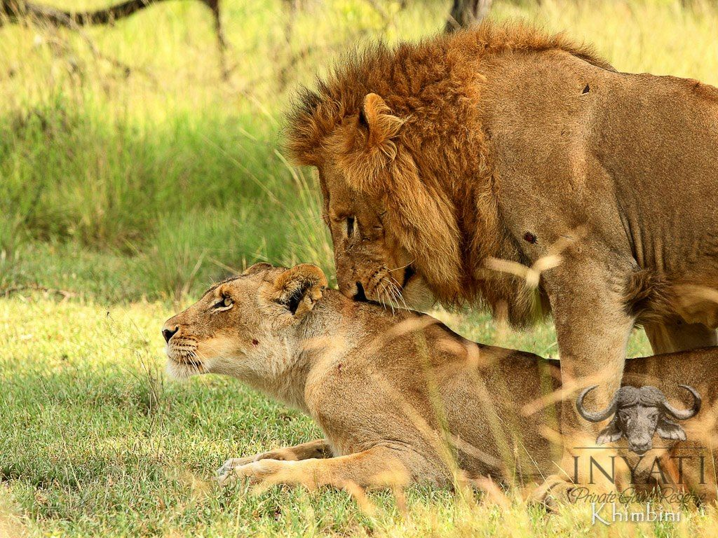 Mating lions Wild cats, Big cats, Animals