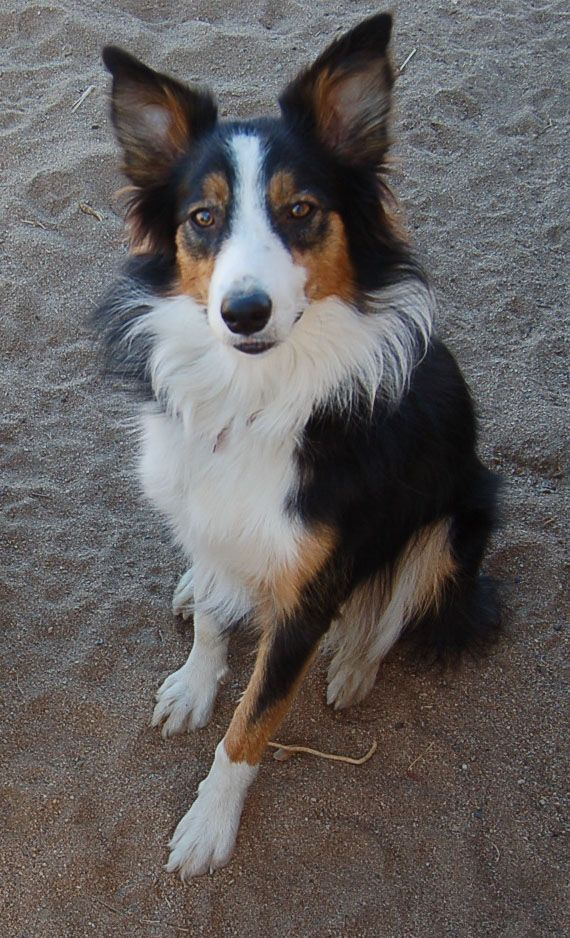 White Mix Cat Black Collie Black And Border Together And