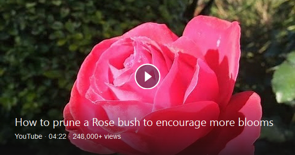 Roger Shows Us An Easy Way To Hard Prune A Bush Rose In Spring To Encourage More Flowers Later In The Summer Bing Video Rose Christmas Ornaments
