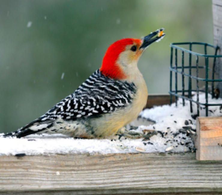 Backyard Birds, How To Attract