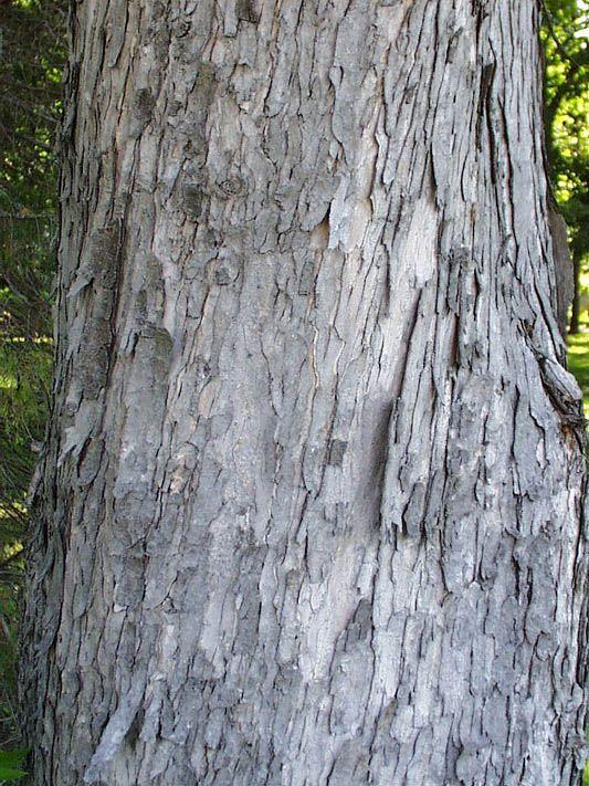 Acer Saccharinum Bark Google Search Cultivating Landscape