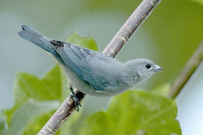 Fabuloso A arte de observar pássaros: Cambacica..um pouco sobre este  TB32
