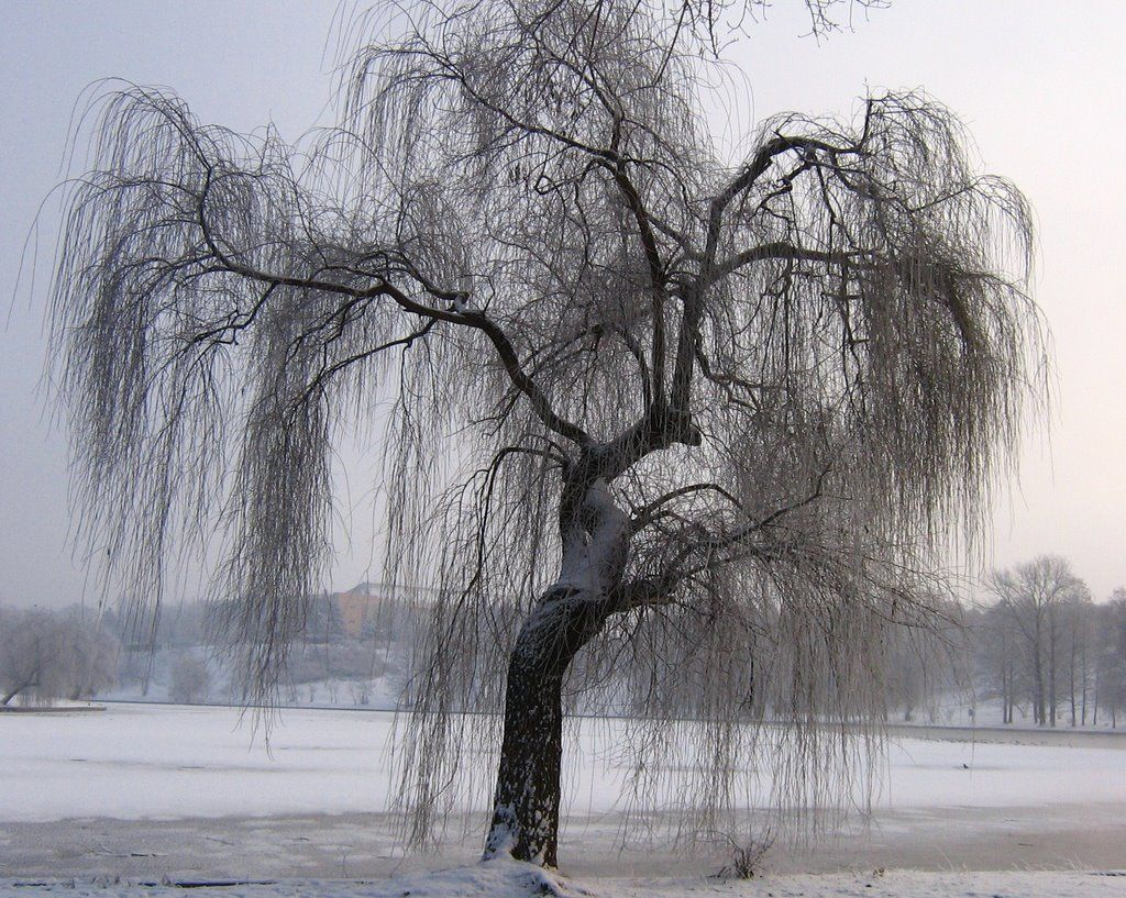Panoramio Photo Of Weeping Willow Winter Weeping Willow Willow Tree Tree Photography