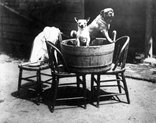 "ALICE AUSTEN Chico and Punch in the wash tub  AUGUST 6, 1887 Chico and Punch in the wash tub  Alice Austen had these dogs for fifteen years.  In later years she said laughingly to Oliver Jensen: ""What tricks they played on us."""