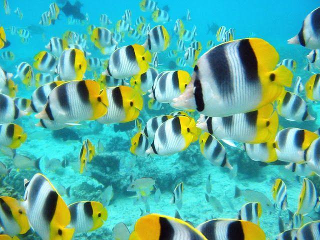 Descubre Tu Mundo Destino Isla Bora Bora Lo Mejor De La Polinesia Francesa Hermoso Pez Pescado Marino Pez Lindo