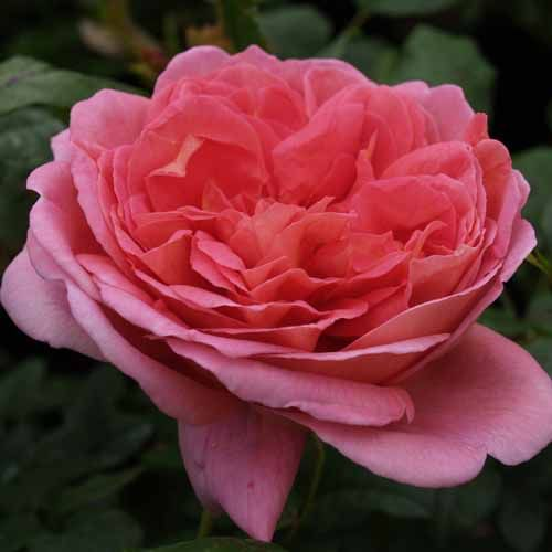 Endeavour Roses All At The Wairere Nursery Online