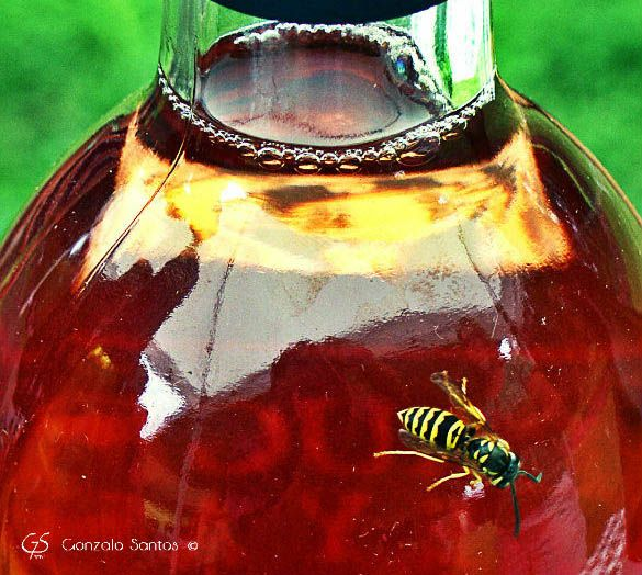 """A yellow jacket inspects a bottle of McLaughlin Vineyards """"Red Fox"""" rosé. © Gonzalo Santos 2013"""