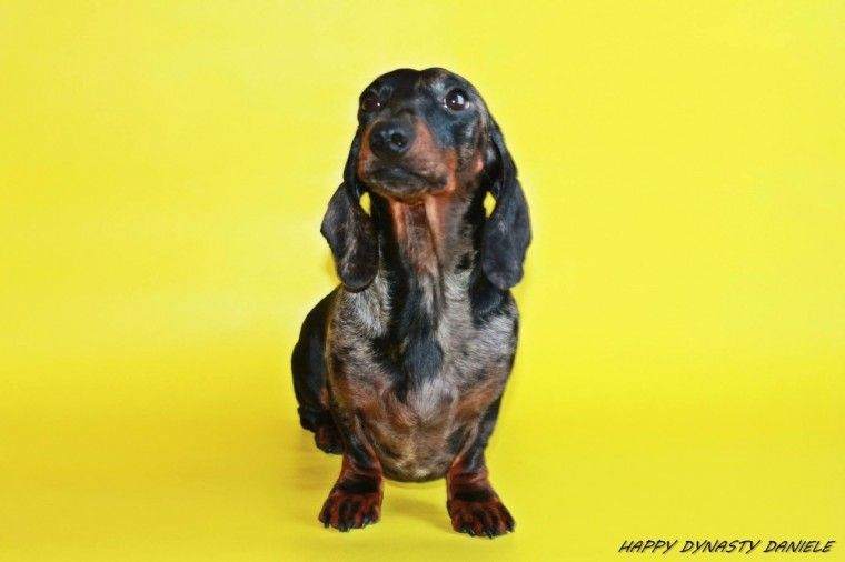 Kc Reg Proven Stud Dachshund Dogs Coventry